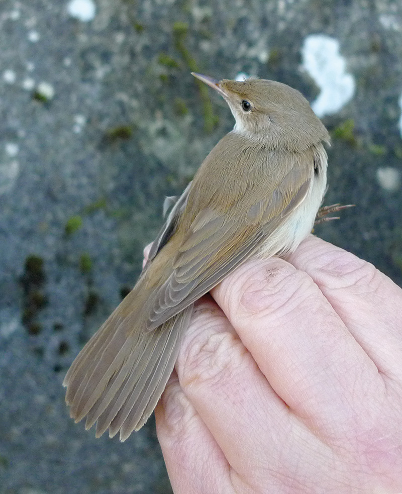 Caspian Reed Warbler New To Britain British Birds