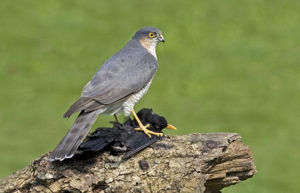 Organochlorine Pesticides And Birds British Birds