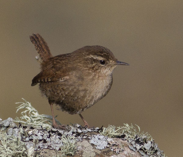 He who shall hurt the little Wren, shall never be beloved by men...
