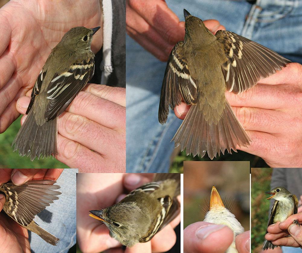 The Alder Flycatcher in Cornwall - pics by Ian Wilson