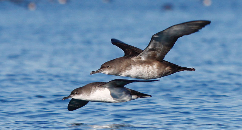 Balearic (above) and Yelkouan Shearwater (below), Castellon, Spain, December 2014. This side-by-side comparison reveals the larger size and bulky, pot-bellied structure of Balearic, and the slimmer, more attenuated appearance of Yelkouan. Pic by Victor Paris.