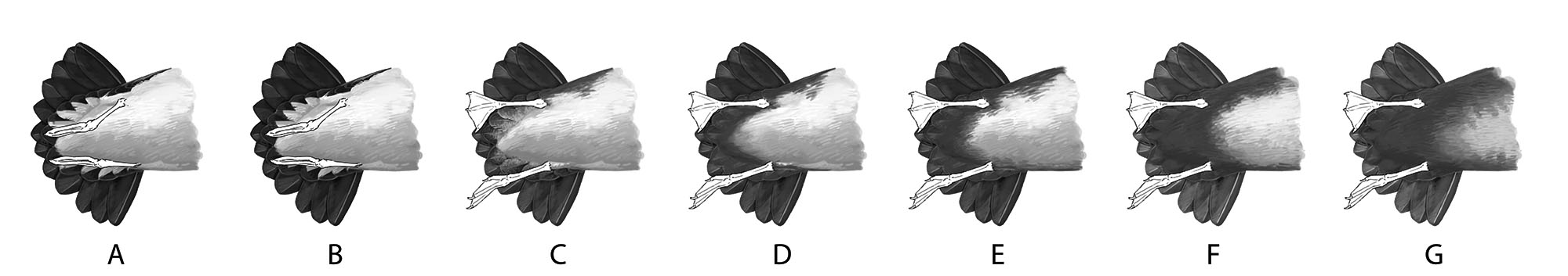 Manx Shearwater typically shows a clean undertail, with dark restricted to the outer web of the outer row of undertail-coverts (A). Some fine dark markings may occasionally be found on the inner web of these feathers; one individual (B) was seen with solid dark markings on the inner webs - see text. The palest Yelkouan Shearwaters (c. 20%) can appear similar (C), though the dark/light contrast is less marked. More than 50% of Yelkouans show completely brown undertail-coverts, although the dark does not extend to the belly (D). In around 20% of Yelkouans, dark extends onto the sides of the lower belly (E); compare that with a pale Balearic Shearwater (F), in which brown usually extends right across the lower belly. Typical Balearics show a completely brown lower belly, which merges gradually into the pale central belly (G). Artwork by Martí Franch.