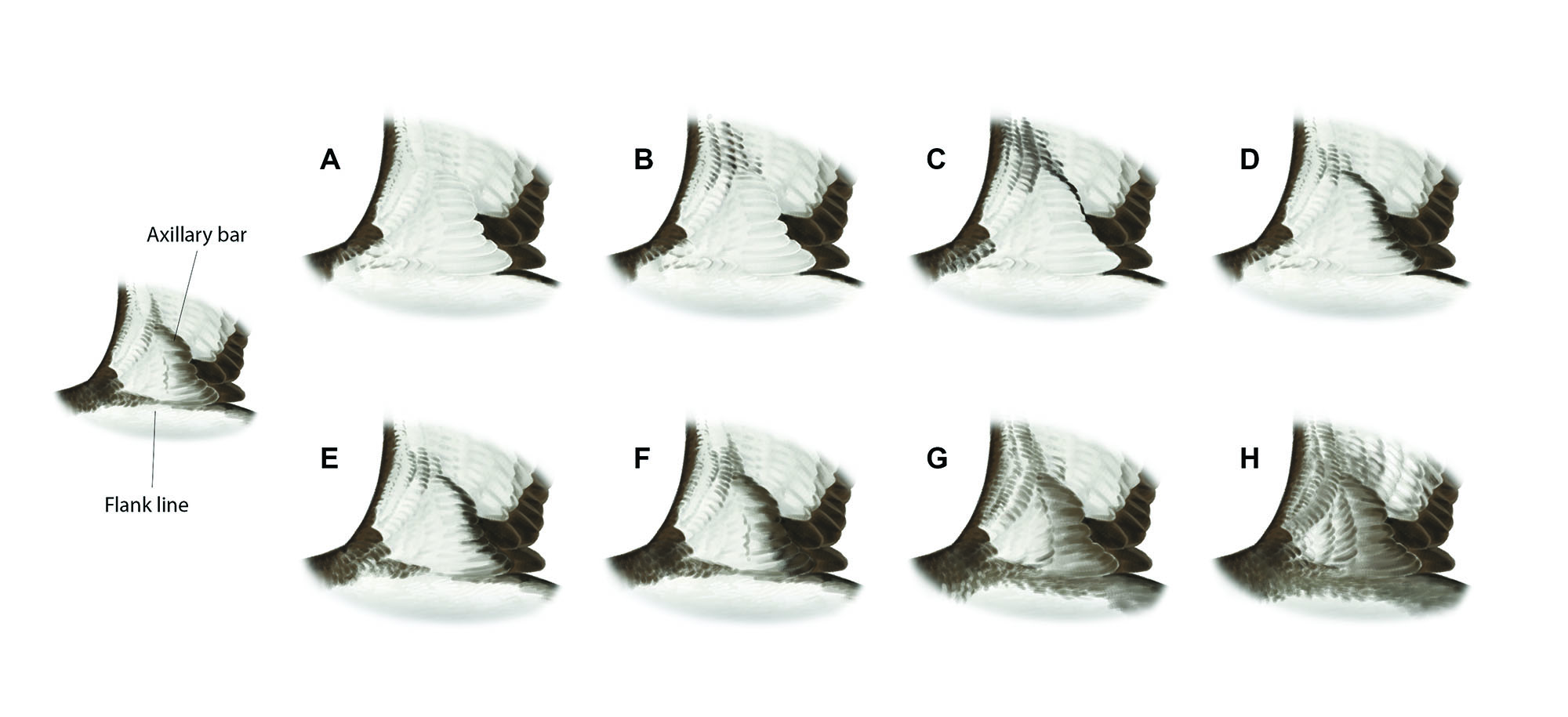 A clean underwing (A) is the most commonly shown pattern in Manx Shearwater, but about a third of birds show diffuse dark marks around the 'wrist' area (B). Rarely (<6%), Manx Shearwater may show a dark diagonal axillary bar (C). This differs from the typical pattern of Yelkouan Shearwater (D, E) in being broadest towards the 'wrist' (narrowest towards the wrist in Yelkouan). The diagonal bar is absent in c. 20% of Yelkouans. The flanks under the wing are clean in c. 10% of Yelkouan (D) but more commonly (60%) birds show a fine line along the upper flank (E), sometimes broken in the centre. In c. 5% of Yelkouan the flank line is thicker, though still with some narrowing at the centre (F); typically these individuals also show a relatively thick diagonal bar and a dirtier-looking underwing. A few Balearic Shearwaters show an underwing similar to 3f, although pale birds (3%) typically show a uniformly thick flank line (G). Most Balearics show a dirty underwing with a broad diagonal bar (H). Artwork by Martí Franch.