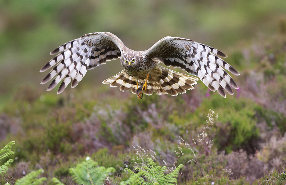 Female Hen Harrier, Highland, July 2016; pic by Mark Hamblin