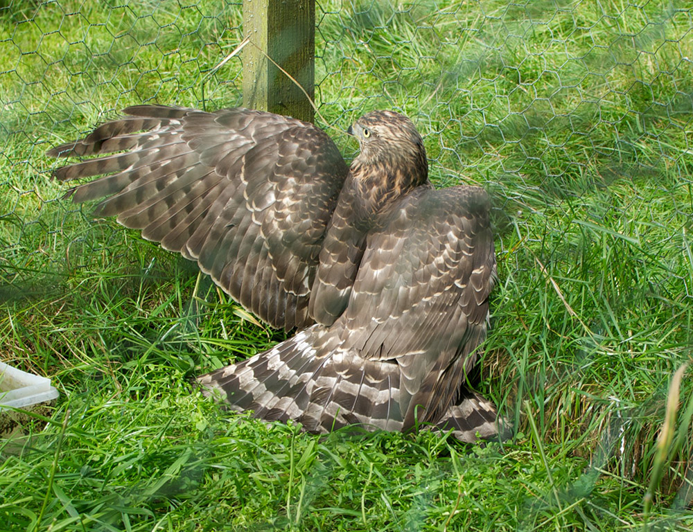 The illegal taking of this Northern Goshawk Accipiter gentilis and related offences in Scotland led to the first jailing of a gamekeeper. RSPB-images.com