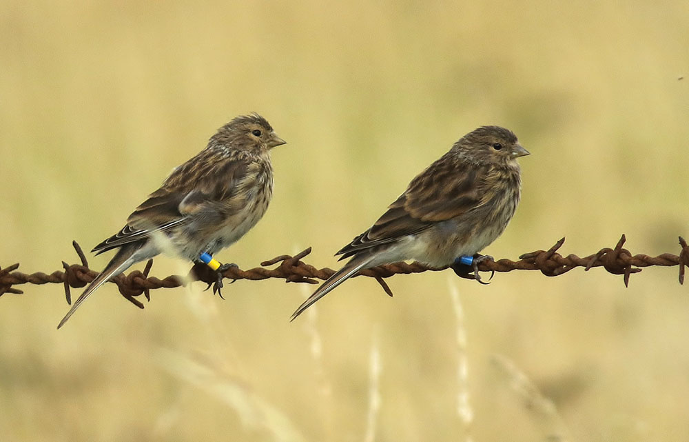 Colour-ringed juvenile Twites in Derbyshire, August 2015. Peter Welch