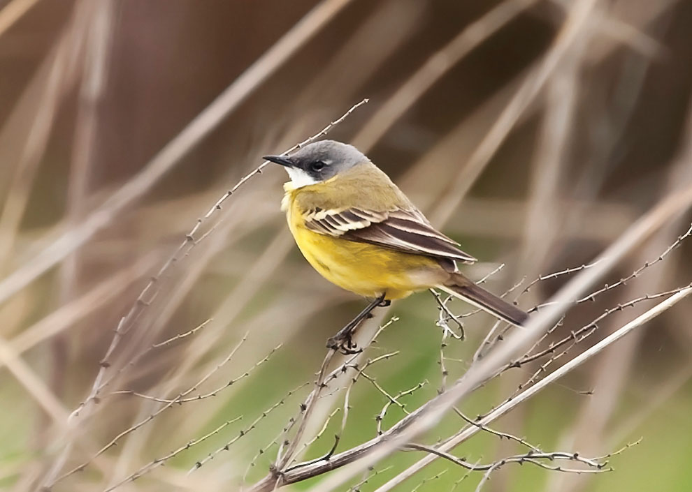 Rarities Committees Files Bbrc Yellow Wagtails