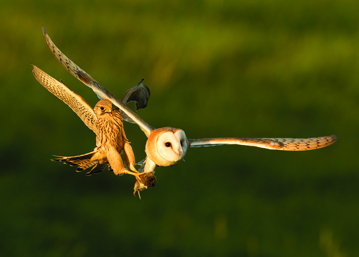 Bird Photograph of the Year 2016 Barn Owl Tyto alba and Common Kestrel Falco tinnunculus, Guernsey, Channel Islands, September 2015. (Canon EOS 7D Mk 2, Canon 500 mm f4 Mk 2; 1/2000, f5.6, ISO 1600.) Anthony Loaring