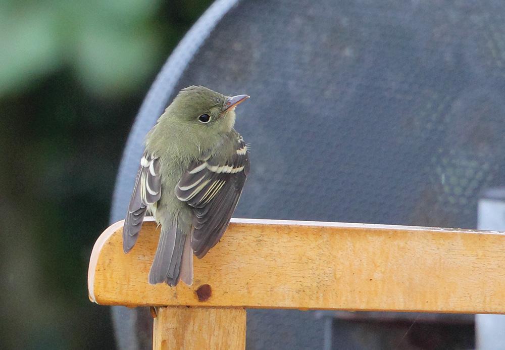 Acadian Flycatcher Empidonax virescens, Dungeness, Kent, September 2015. James Lowen