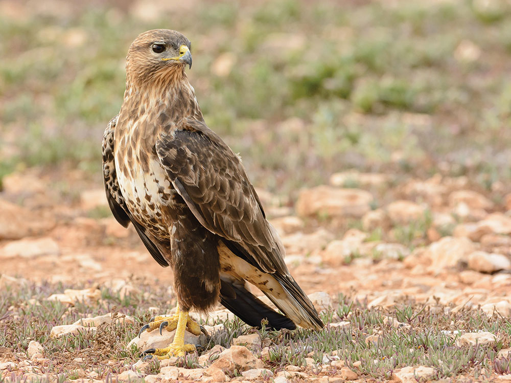 phenotypic characteristics of common buzzards on fuerteventura