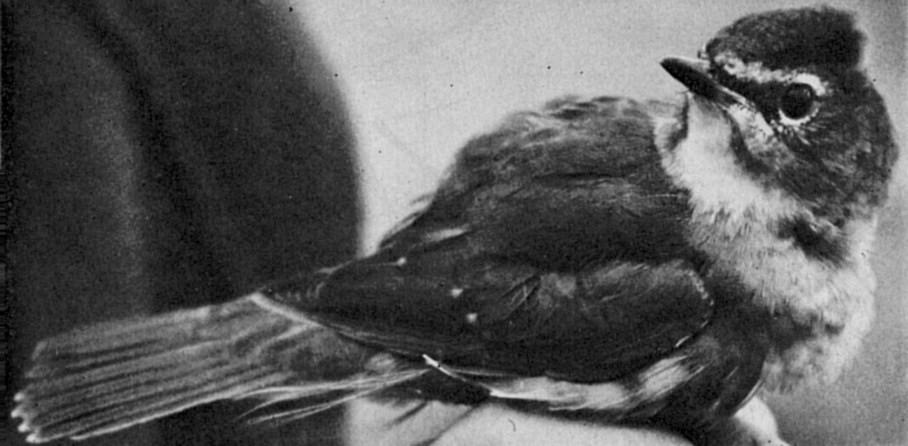 Siberian Rubythroat: new to Britain and Ireland - British Birds